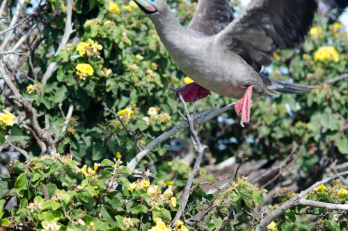 Headless redfooted booby