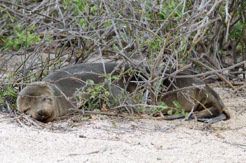 Sea lion naps