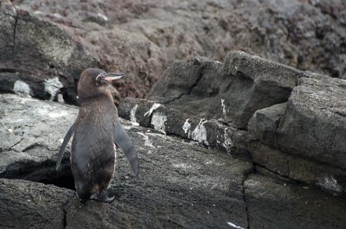 Galapagos penguin!