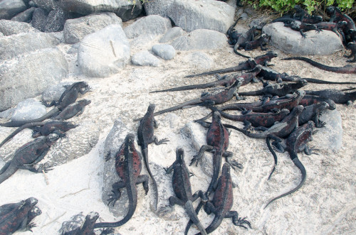 Marine Iguanas everywhere!