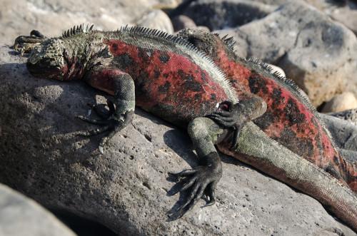 Cuddling Iguanas