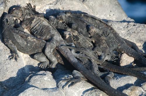 Baby marine iguanas